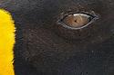 Eye and feather detail of King Penguin (Mirounga leonina) Salisbury Plane, South Georgia. November.