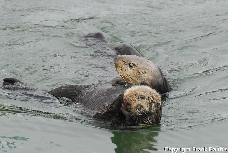 sea otter courtship