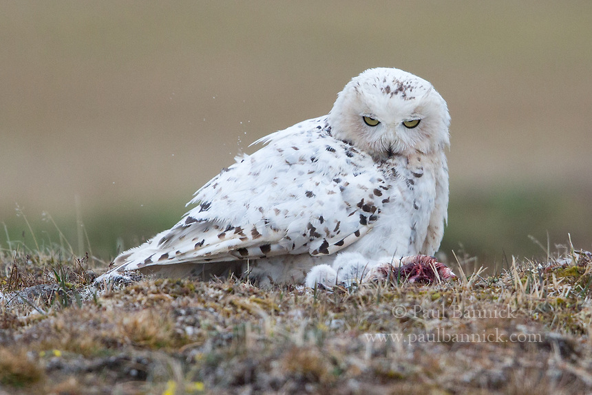 A Snowy Owl female examines her owlets and prey in the nest.