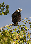 Osprey.Pandion haliaetus.at the Sepulveda Wildlife Area.Los Angeles, Ca. November 1, 2007. Fitzroy Barrett