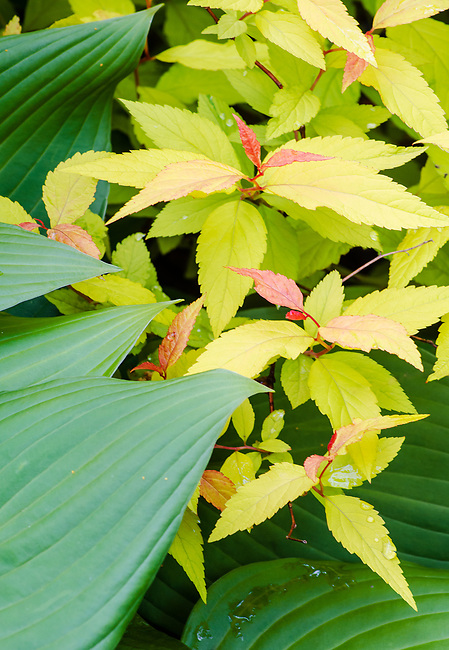 Spirea and Hosta Leaves intermingle in a suburban garden, northern Illinois