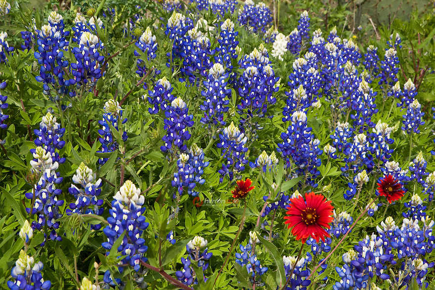 Bluebonnets surround a few bright red Indian Paintbrush wildflowers, Texas Hill Country, Texas, USA.