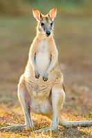 agile wallaby, or sandy wallaby, Macropus agilis, Northern Territory, Australia, Oceania