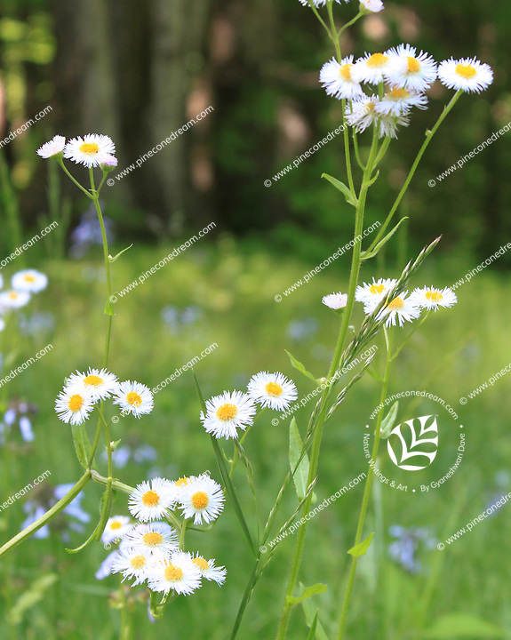 Stock photo: Stalks of beautiful fleabane daisy wildflowers in the great smoky mountains national park in USA.