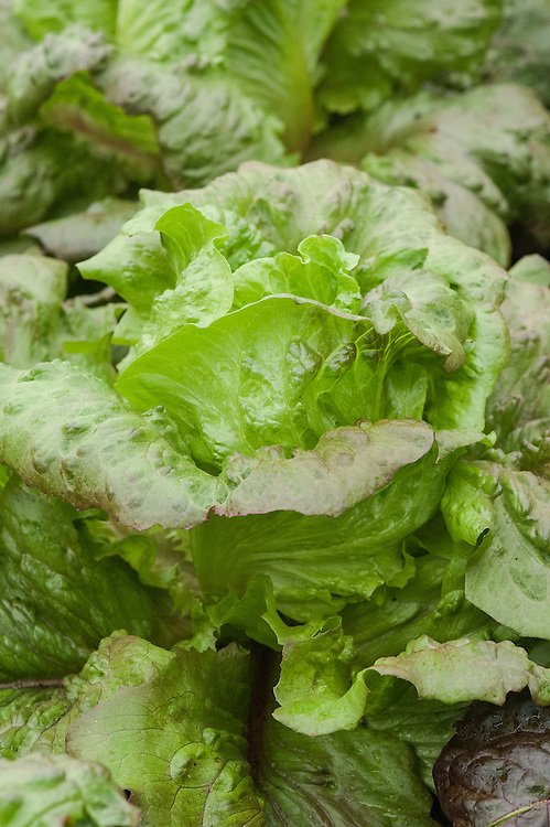 Lettuce 'Red Iceberg', an unusual iceberg lettuce with copper-hued outer leaves surrounding the green-to-white inner head.