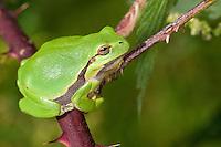 Europäischer Laubfrosch sonnt sich auf einer Brombeerranke, Laub-Frosch, Frosch, Hyla arborea, European treefrog, common treefrog, Central European treefrog