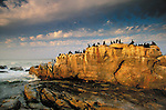 Cape Cormorant, Atlantic Coast, South Africa