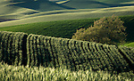 Rolling hills in the Palouse Valley