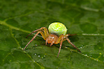 Cucumber or Green Orb Weaver Spider, Araniella cucurbitina, on leaf in garden, bright green abdomen.United Kingdom....