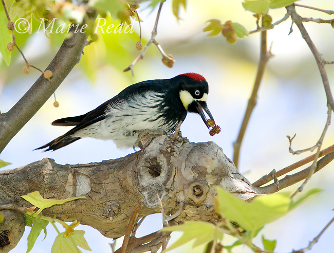 Acorn Woodpecker (Melanerpes formicivorus), female holding sycamore flower in her bill, Orange County, California, USA