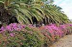 Bougainvillea plants flowering and palm fronds, Pajara,  Fuerteventura, Canary Islands, Spain