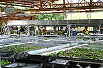Bananas are processed in covered processing plants in Costa Rica like this Del Monte plantation packing shed...