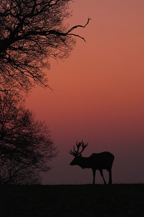 Distant silhouette of a Red deer (Cervus elaphus) at first light, Bedfordshire UK