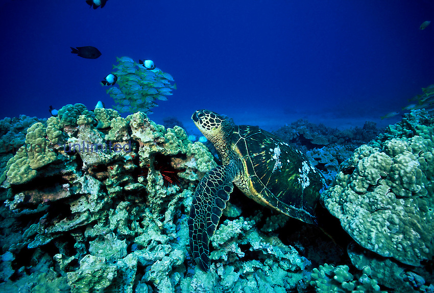 Green sea turtles ,Chelonia mydas, are regularly seen resting on the reef during the day in Hawaii.