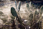 Prickly pear covered by a tangle of spiderwebs, Andalusia, Spain