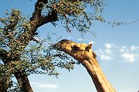 Indien, Kamel in  Rajasthan