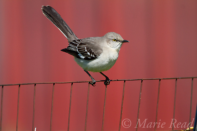 Northern Mockingbird (Mimus polyglottos), perched on fence with red barn in background, spring, Interlaken, New York, USA