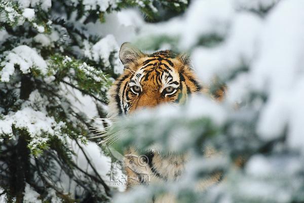 Siberian Tiger (Panthera tigris) in winter.