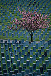 Tree in bloom with head stones at cemetery on a Spring afternoon Evergreen Washelli cemetery Seattle Washington State USA.