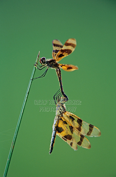 Halloween Pennant, Celithemis eponina, pair mating, Welder Wildlife Refuge, Sinton, Texas, USA
