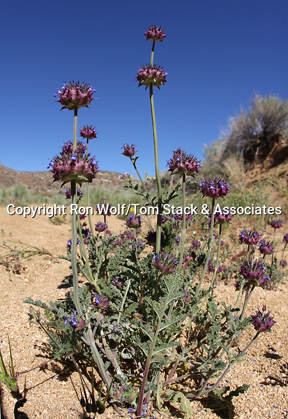 Chia (Salvia columbariae). Butterbredt Spring. Kern Co., Calif.