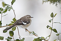 01395-02811 Northern Mockingbird (Mimus polyglottos) in American Holly tree (Ilex opaca)  in winter, Marion Co., IL