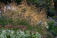 Stipa gigantea, Giant Feather Grass flowering in mixed perennial border in morning light, Soest Herbaceous Display Garden, University of Washington Botanic Garden, Center for Urban Horticulture, Seattle