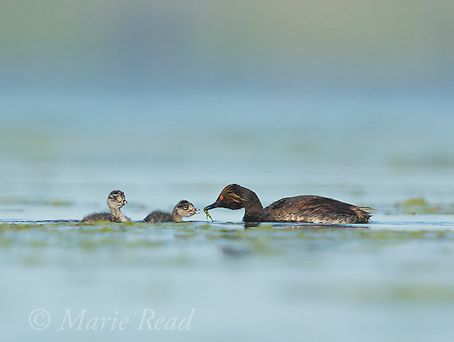 Eared Grebes (Podiceps nigricollis), adult feeding a damselfly to one of two chicks on the water, Bowdoin National Wildlife Refuge, Montana, USA