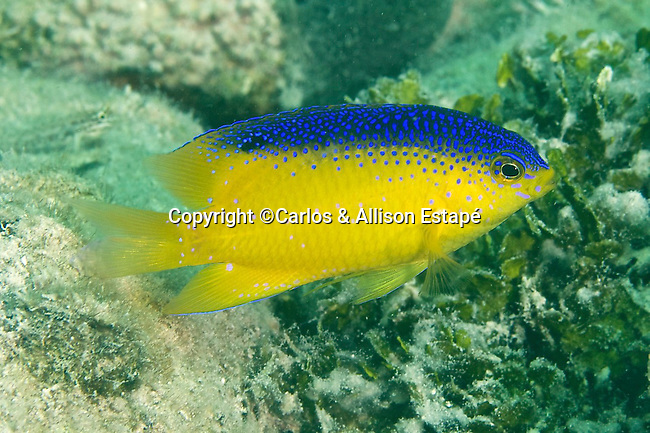 Stegastes leucostictus, Beaugregory, Florida Keys