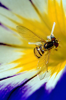 Close up of a Hover fly on a flower.