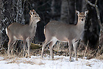 Sika deer, Cervus nippon, alert at edge of woodland, Nemuro Region, Hokkaido Island, Japan .Japan....