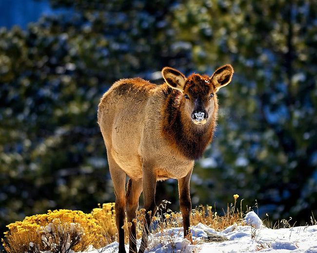 Elk cow with snow on nose in Rocky Mountain National Park, Colorado