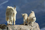 Rocky Mountain Goat with Babies