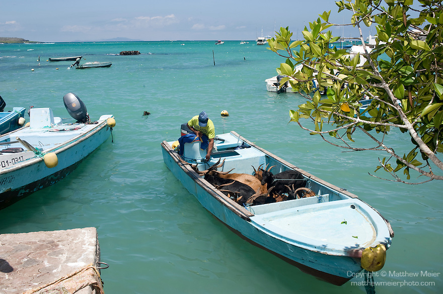 Puerto Ayora, Santa Cruz Island, Galapagos, Ecuador; goats are brought to market and dragged one at a time from a small fishing boat to a waiting truck at the fishing pier at Pelican Point, the goats were introduced on neighboring island and the National Park and local hunters are rounding them up for slaughter in hopes of protecting the endemic species in the Galapagos Islands , Copyright © Matthew Meier, matthewmeierphoto.com All Rights Reserved
