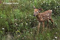 MA11-063z   White-tailed Deer - fawn - Odocoileus virginianus