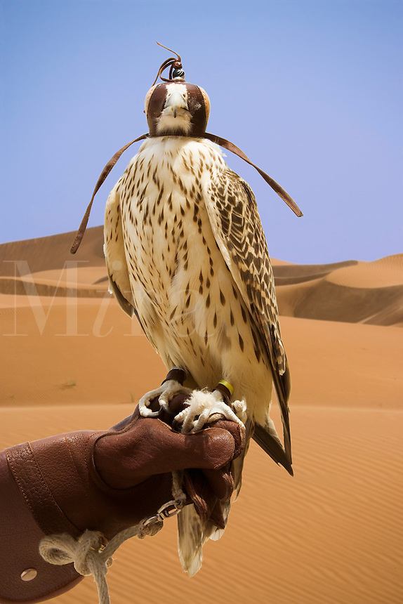 Hooded Saker Falcon, bred for hunting,  perches on handler?s glove.  Dubai, United Arab Emirates.  Falco Cherrug. Altai Falcon.