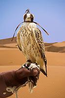 Hooded Saker Falcon, bred for hunting,  perches on handler?s glove.  Dubai, United Arab Emirates.  Falco Cherrug. Altai Falcon.