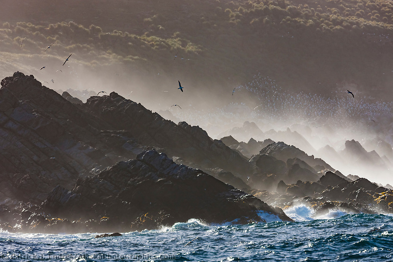 Black-browed albatross soar in the wind along the shore of Steeple Jason Island, Falkland Islands