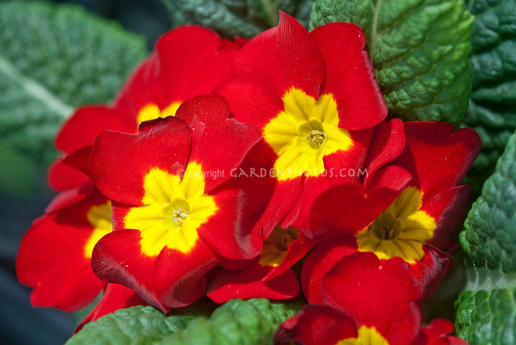 Primula Danova Mix (Red, yellow center), thrum flowers