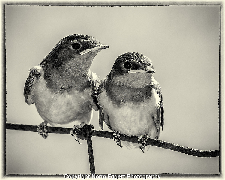 Barn Swallows on a farm fence