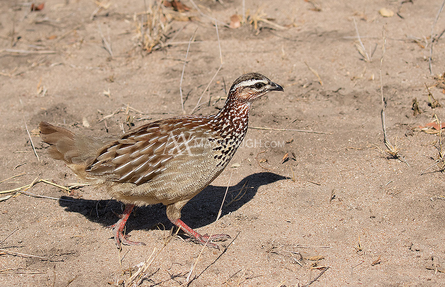 The Crested francolin is a rather loud scrub chicken.
