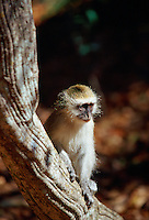 Young vervet monkey on a tree branch in Zimbabwe, Africa