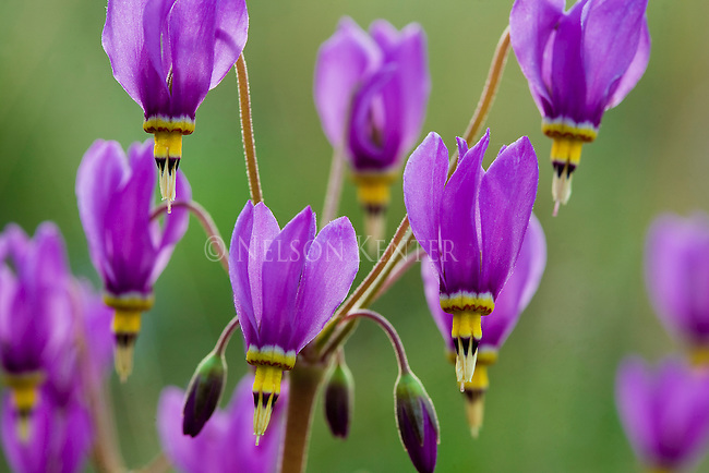Shooting Star wildflowers in full bloom in a Montana National Forest