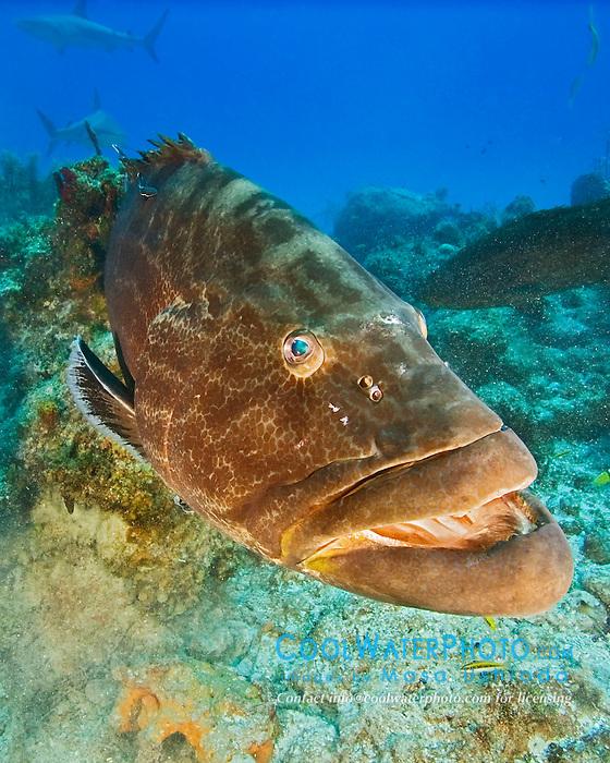 Black Grouper, Mycteroperca bonaci, West End, Grand Bahama, Atlantic Ocean.