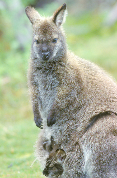 Tasmanian Pademelon (Rufous Wallaby), Cradle Mt. & Lake St. Clair NP, Tasmania, Australia