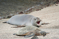 Hawaiian monk seal, Neomonachus schauinslandi ( Critically Endangered ), 2.5 year old male resting on beach during annual molt, along with a small green sea turtle, Chelonia mydas, beach, yawns at Pu'uhonua o Honaunau ( City of Refuge ) National Historical Park, Kona, Big Island, Hawaii, USA, Pacific Ocean