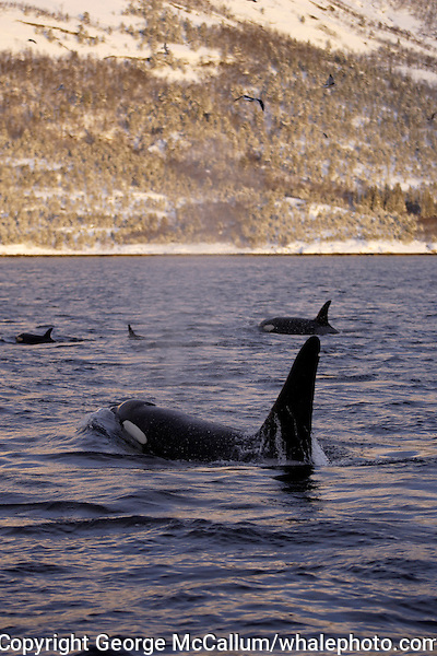 Killer whale group surfacing during herring hunt. Tysfjord, Arctic Norway