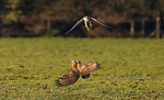 An incredible image of a buzzard warning off a peregrine falcon was only discovered when a photographer searched through thousands of pictures in his archive during lockdown.  Wildlife photographer Peter Orr took the image in 2014 but didn't find it until this year when he was wading through his extensive 400,000 image backlog.<br /> <br /> He posted it on his Twitter where it immediately captured people's attention. It now has 4,600 likes. 813 retweets and over 300,000 impressions.  The 65-year-old, who lives in Wiltshire, said the incredible image was captured after the peregrine lost a jackdaw it was chasing and spotted the buzzard on the ground.  SEE OUR COPY FOR DETAILS.<br /> <br /> Please byline: Peter Orr/Solent News<br /> <br /> © Peter Orr/Solent News & Photo Agency<br /> UK +44 (0) 2380 458800