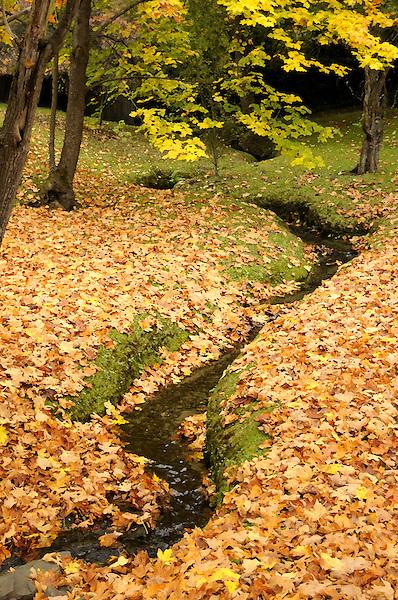 Autumn Stream Meandering Through Maple Leafs