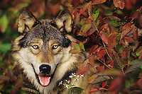 Gray wolf among fall leaves.